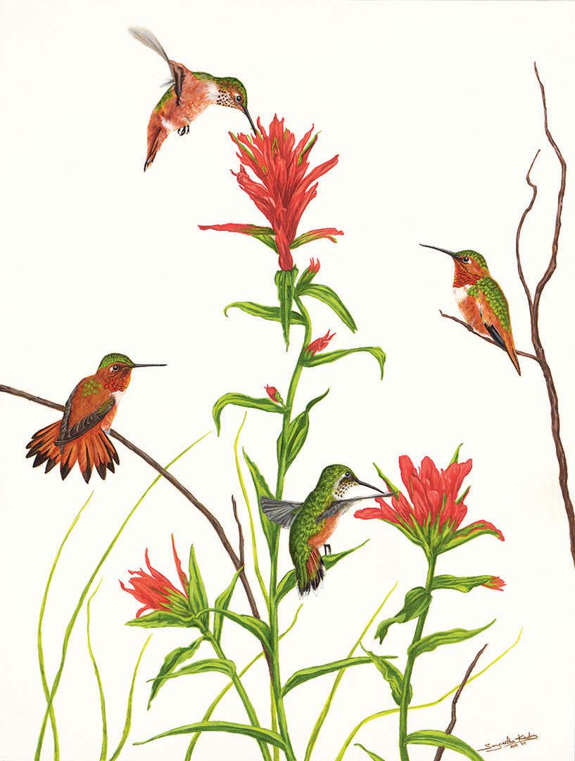 RUFOUS HUMMINGBIRD & ALLEN'S HUMMINGBIRD