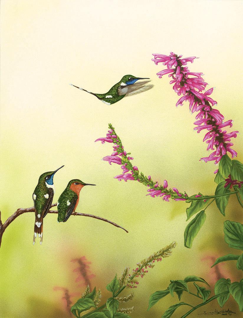 SPARKLING-TAILED HUMMINGBIRD