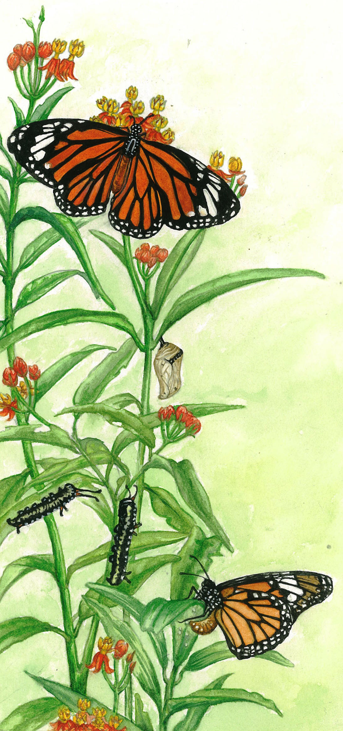 STRIPED TIGER BUTTERFLY LIFE CYCLE